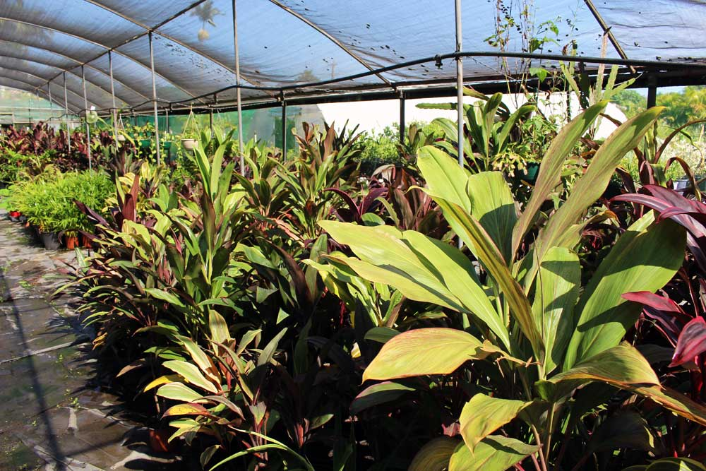 tropical-paradise-nursery-bundaberg-12