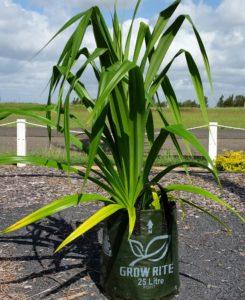 Pandanus Palm