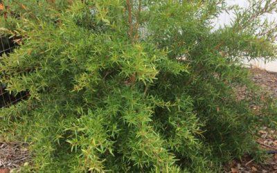 Leptospermum