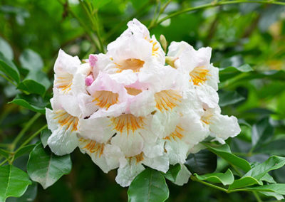 China doll flower or radermachera sinica