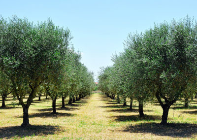 Mature olive trees on a farm.